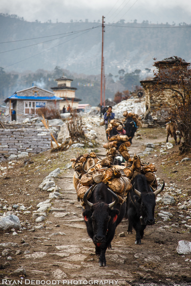 Yaks carrying wood in Samagoan