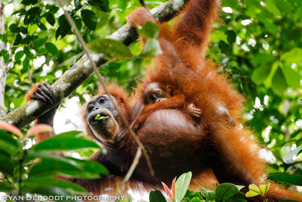 Baby Orangutan and mother in Gunung Leuser National Park.
