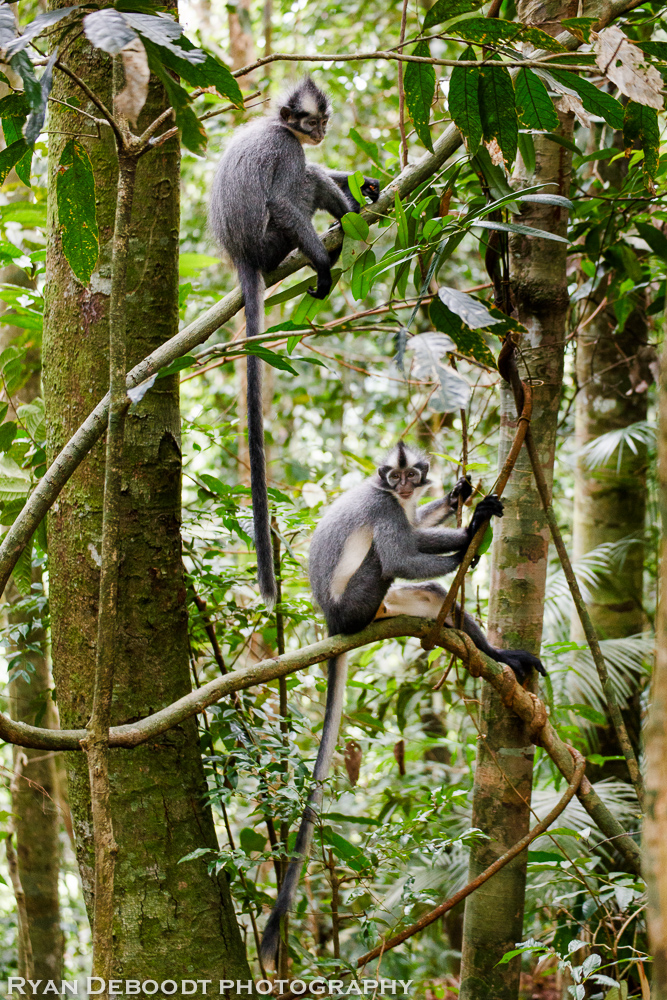 Thomas Leaf Monkeys in Gunung Leuser National Park