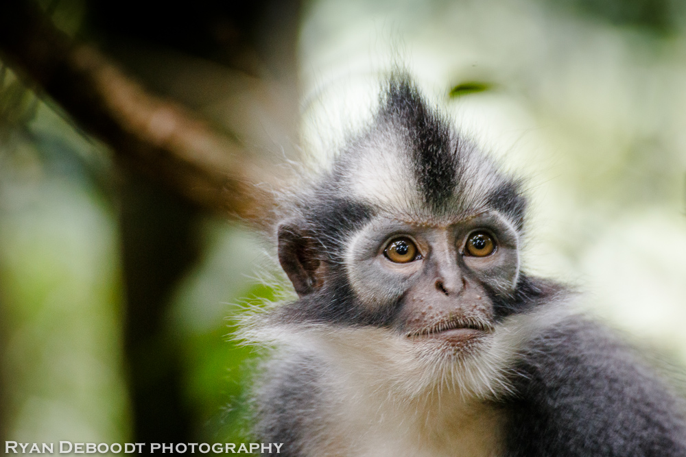 Thomas Leaf Monkey with it's signature mohawk.