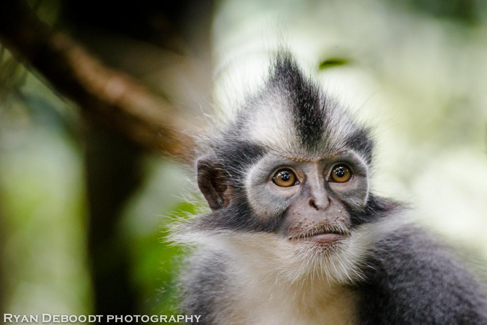 Thomas Leaf Monkey with it's signature mohawk.