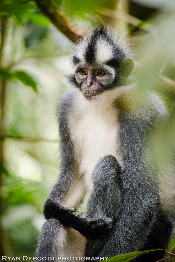 Thomas Leaf Monkey in Gunung Leuser National Park.
