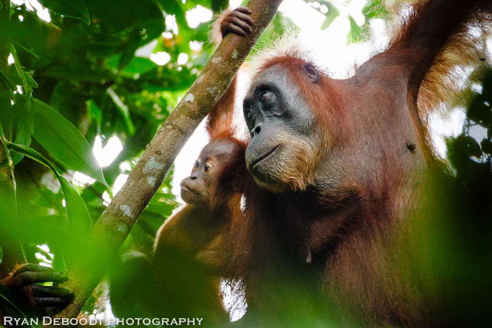 Baby Orangutan and mother in Gunung Leuser National Park.