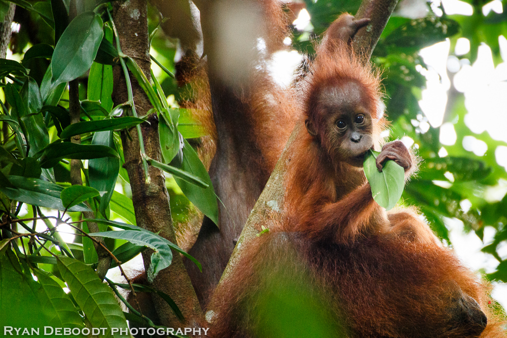 Baby Orangutan in Gunung Leuser National Park.