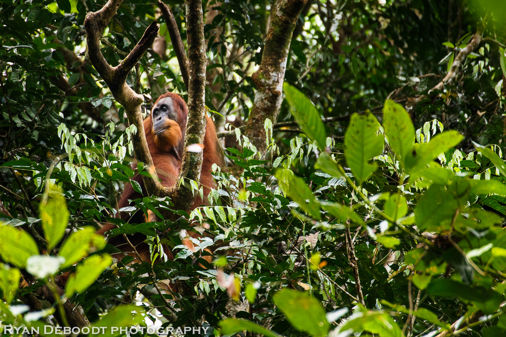 Male Orangutan in Gunung Leuser National Park