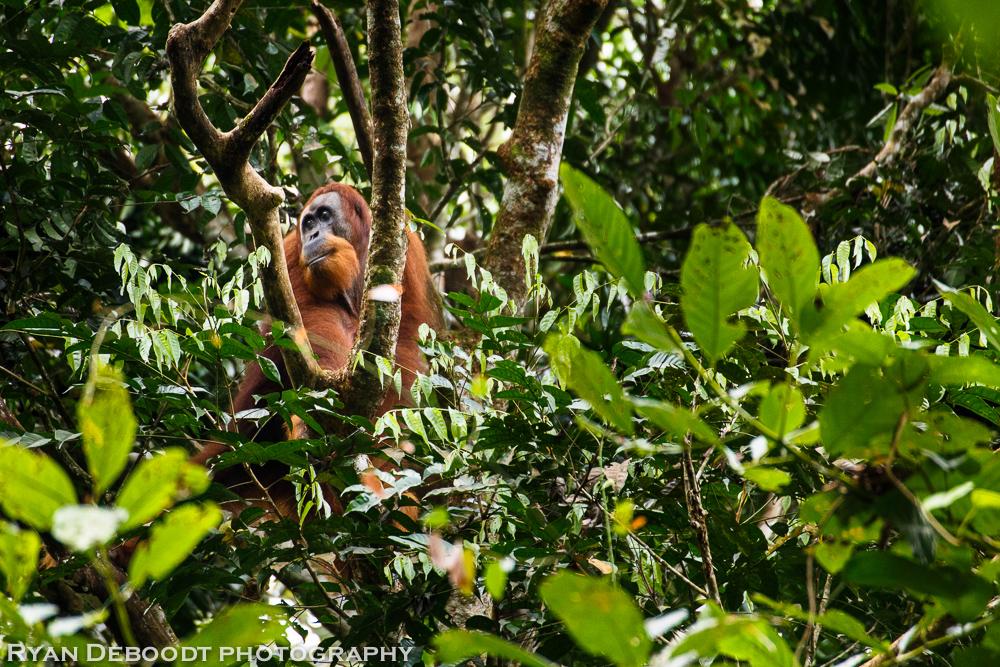 Male Orangutan in Gunung Leuser National Park