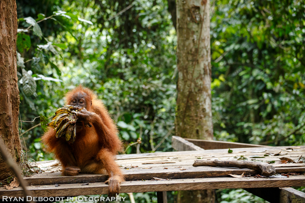 Child Orangutan at a feeding platform in Gunung Leuser National Park
