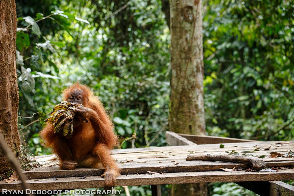 Child Orangutan at a feeding platform in Gunung Leuser National Park