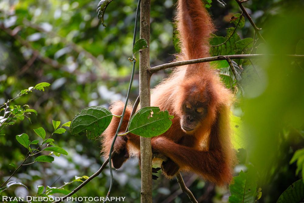 Child orangutan playing in Gunung Leuser National Park.