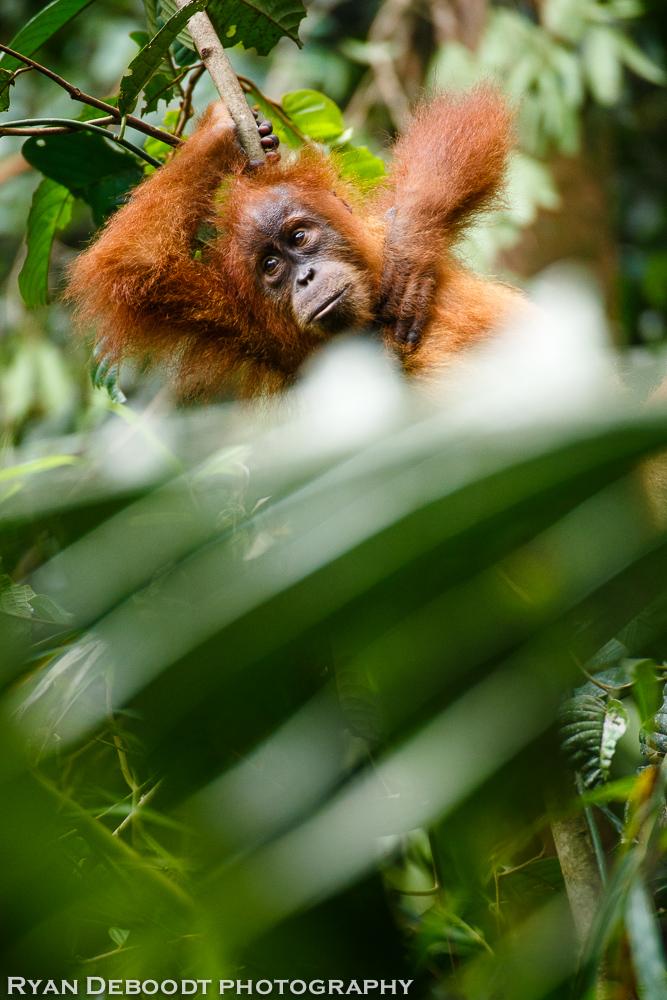 Child orangutan resting in Gunung Leuser National Park.