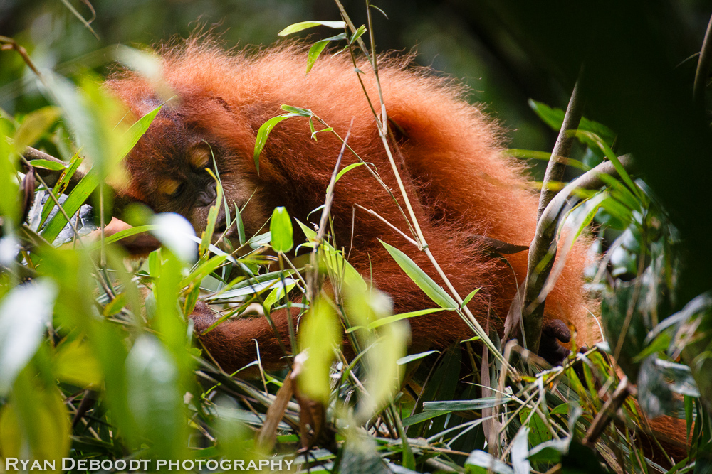 Child orangutan napping in Gunung Leuser National Park.