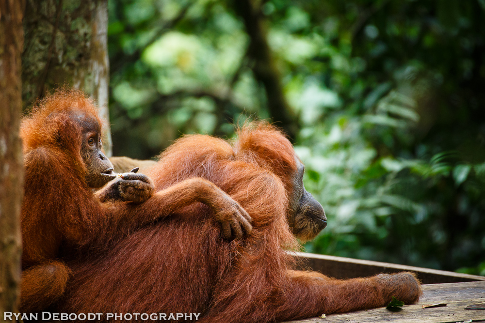 Mother and child orangutan at the feeding platform.