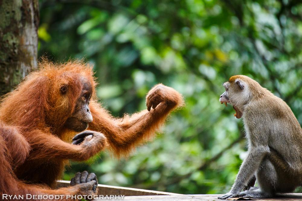 Orangutan vs Macaque