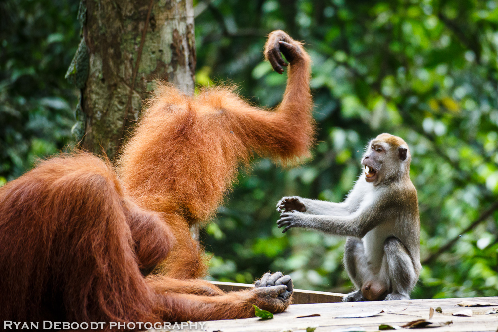 Orangutan vs Macaque battle royale!
