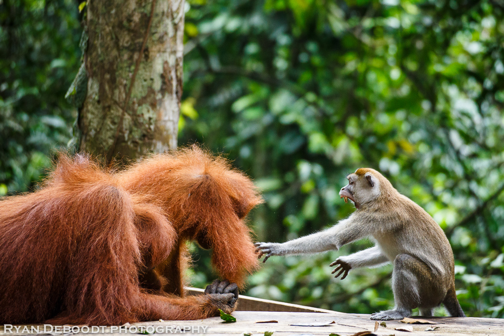 Orangutan vs Macaque battle royale!