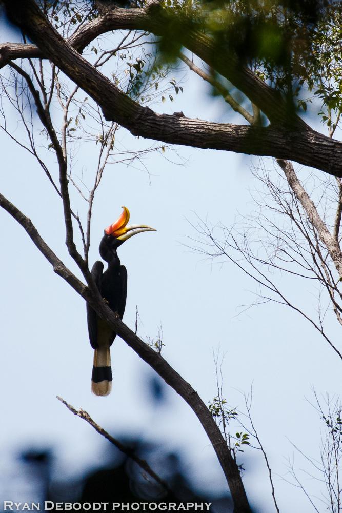 A hornbill bird in Gunung Leuser National Park.