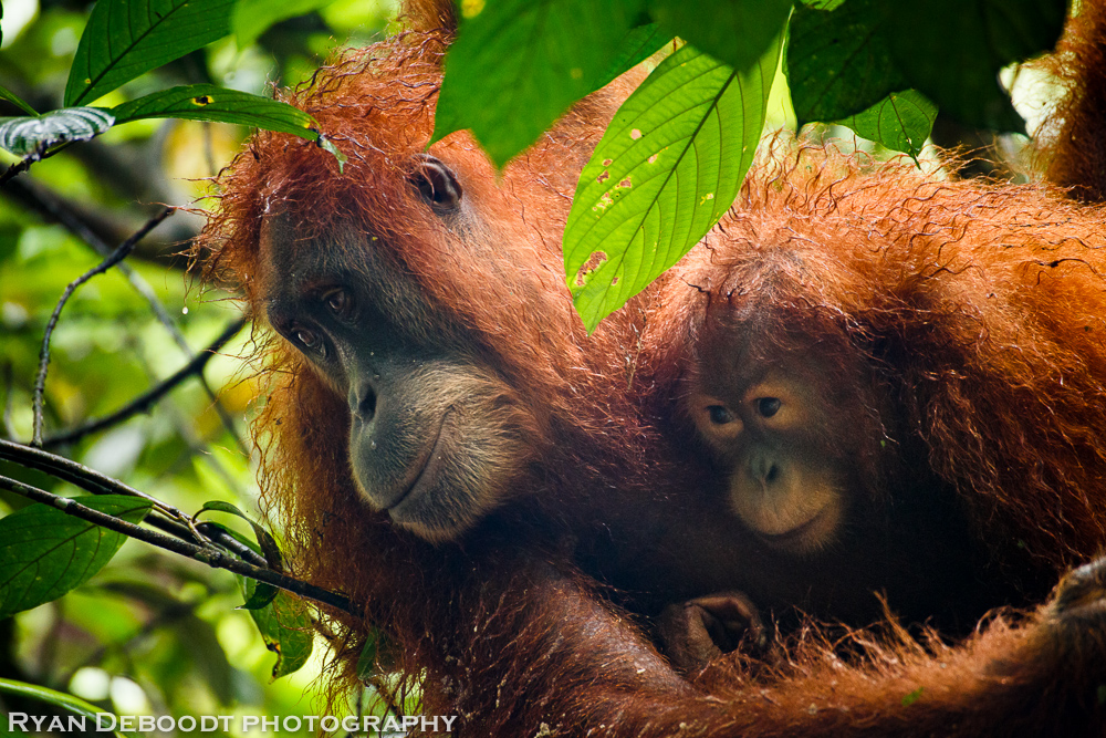 Orangutans at camp.