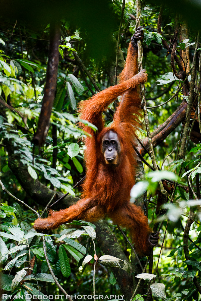 Orangutan in Gunung Leuser National Park.